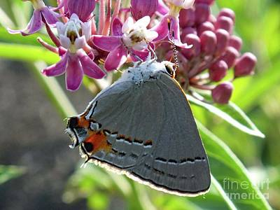Up Up And Away - Who Said Gray Cant Be Beautiful?   Gray Hairstreak by Cindy Treger