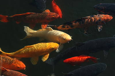 Photograph - Whole Mess Of Koi by David Dunham