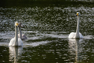 Photograph - Whooper Swan Family by Jouko Lehto