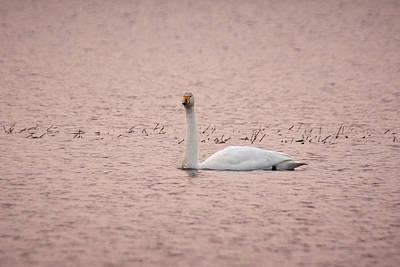 Photograph - Whooper Swan In Pink by Jouko Lehto