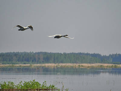 Photograph - Whooper Swan Morning Flight by Jouko Lehto