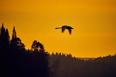 Pasta Al Dente - Whooper swan sunset by Jouko Lehto