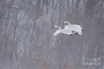 Photograph - Whooper Swans Flying In Snowstorm by John Shaw