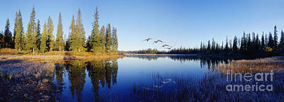 Photograph - Whooper Swans Panorama by Warren Photographic