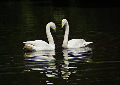 Print featuring the photograph Whooper Swans by Sandy Keeton