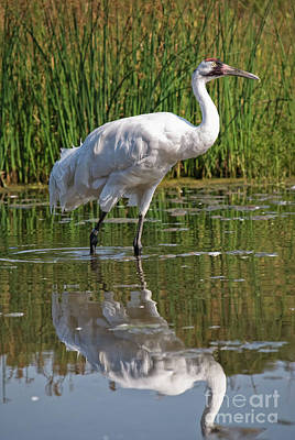 Photograph - Whooping Crane 2 Visit Www.angeliniphoto.com For More by Mary Angelini