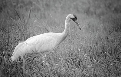 Whooping Crane 2017-4 Art Print by Thomas Young