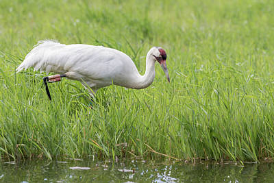 Photograph - Whooping Crane 2017-5 by Thomas Young