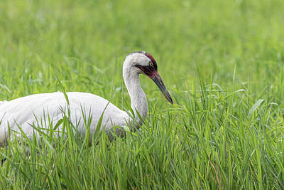 Photograph - Whooping Crane 2017-7 by Thomas Young