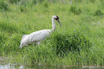 Photograph - Whooping Crane 2017-8 by Thomas Young
