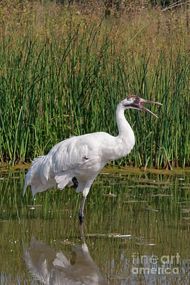 Photograph - Whooping Crane 3 Visit Www.angeliniphoto.com For More by Mary Angelini
