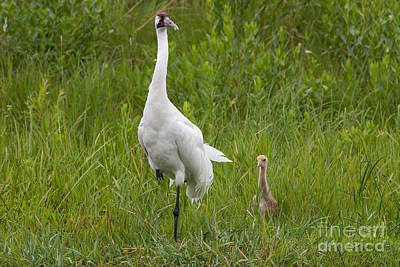 Scott Nelson Photograph - Whooping Crane And Chick by Scott Nelson