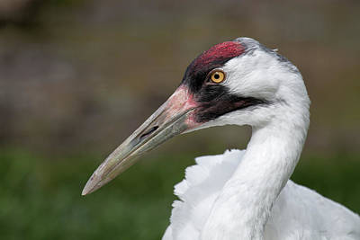 Photograph - Whooping Crane by Celine Pollard
