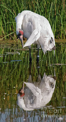 Photograph - Whooping Crane I Visit Www.angeliniphoto.com For More by Mary Angelini