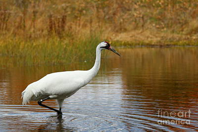 Photograph - Whooping Crane by Janet Pugh