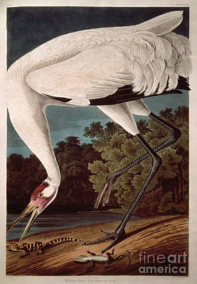 Crane Wall Art - Painting - Whooping Crane by John James Audubon