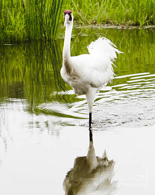 Photograph - Whooping Crane by Ricky L Jones