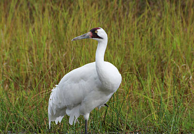 Photograph - Whooping Crane by Sandy Keeton