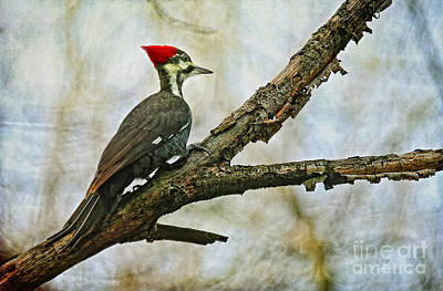 Pileated Woodpecker Photograph - Who's There by Lois Bryan