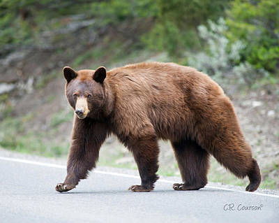 Photograph - Why Did The Bear Cross The Road by CR  Courson