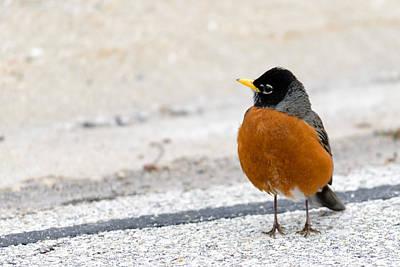Photograph - Why Did The Robin Cross The Street by Randy Scherkenbach