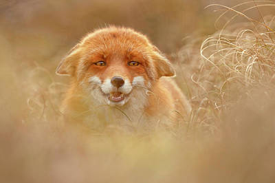Why So Serious - Funny Fox Art Print by Roeselien Raimond