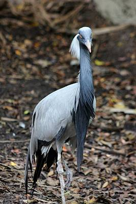 Demoiselle Crane Photograph - Why So Serious by Mesa Teresita