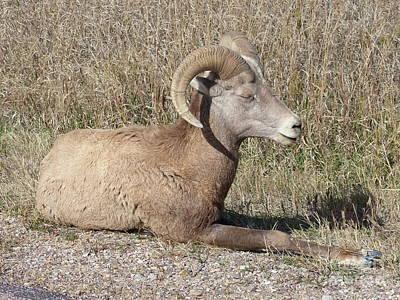 Photograph - Wicklow Mountain Sheep by Rosanne Licciardi