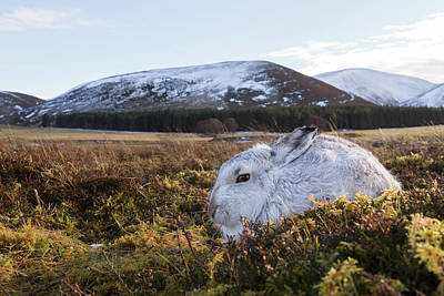 Photograph - Wide Angle Mountain Hare by Peter Walkden