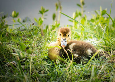 Photograph - Wide-eyed Duckling by TK Goforth