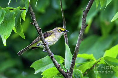Photograph - Wide-eyed White-eyed Vireo by Gary Holmes