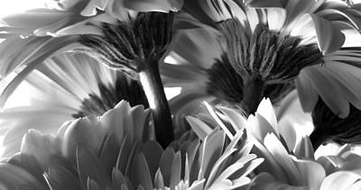 Photograph - Wide Monochrome Gerbera Daisies by Tony Grider