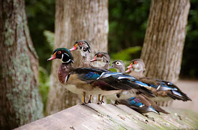 Wood Duck Profile Photograph - Wide Variety Of Wood Ducks by Alicia Collins