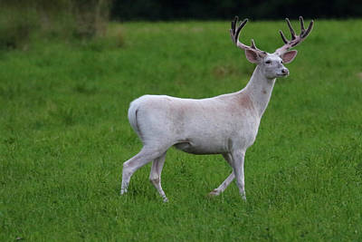 Photograph - Wide White Buck 1 by Brook Burling