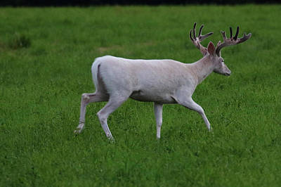 Photograph - Wide White Buck 2 by Brook Burling