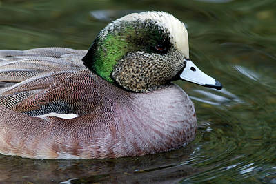 Photograph - Widgeon Portrait by Craig Strand