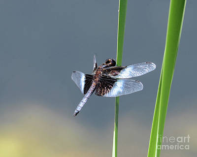 Photograph - Widow Skimmer by Amy Porter