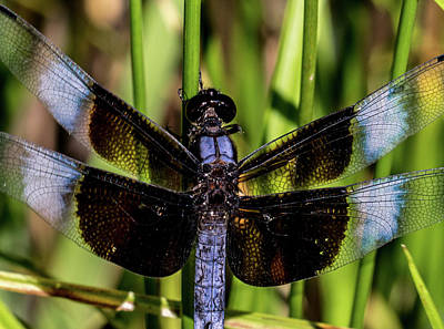 Photograph - Widow Skimmer Up Close And Personal by Douglas Barnett