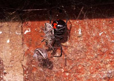 Black Widow Spider Photograph - Widow's Delight  by Christy Ricafrente