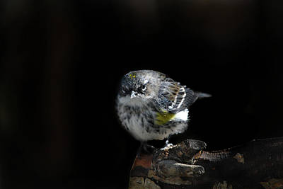 Yellow Rumped Warbler Photograph - Wigged-out Warbler by Skip Willits