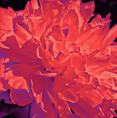 Photograph - Wild About Peonies by Susan Maxwell Schmidt