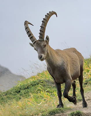 Photograph - Wild Alpine Ibex - Steinbock Portrait by Elenarts - Elena Duvernay photo
