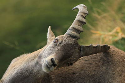 Photograph - Wild Alpine Ibex - Steinbock Scratching by Elenarts - Elena Duvernay photo