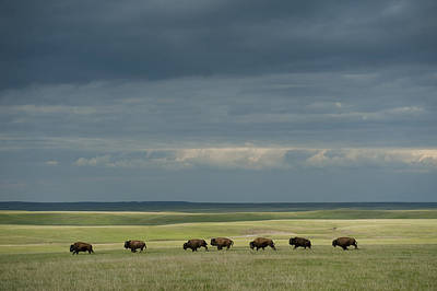 Wild American Bison Roam On A Ranch Print by Joel Sartore