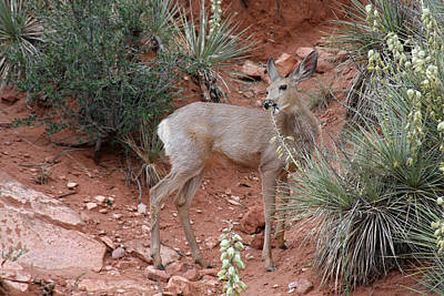 Doe Photograph - Wild And Pretty - Garden Of The Gods Colorado Springs by Christine Till
