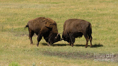 Photograph - Wild Animal Buffalo Bull Males Fightning For Territory by Christopher Boswell