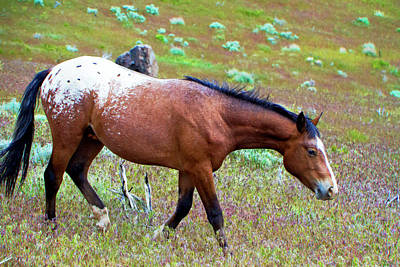 Photograph - Wild Appaloosa Stallion by Waterdancer