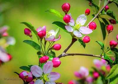 Photograph - Wild Apple Blossoms  by LeeAnn McLaneGoetz McLaneGoetzStudioLLCcom