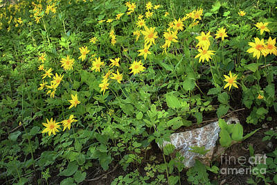 Photograph - Wild Arnica by Roxie Crouch