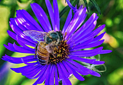 Royalty-Free and Rights-Managed Images - Wild Aster And Honey Bee 3 by Steve Harrington